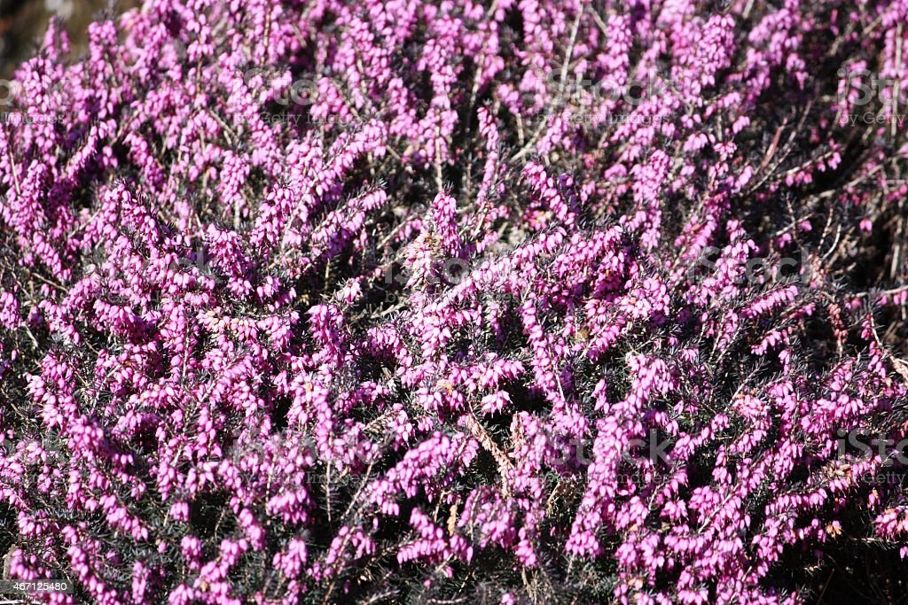 Heather in spring, Blooming Purple Heather stock photo