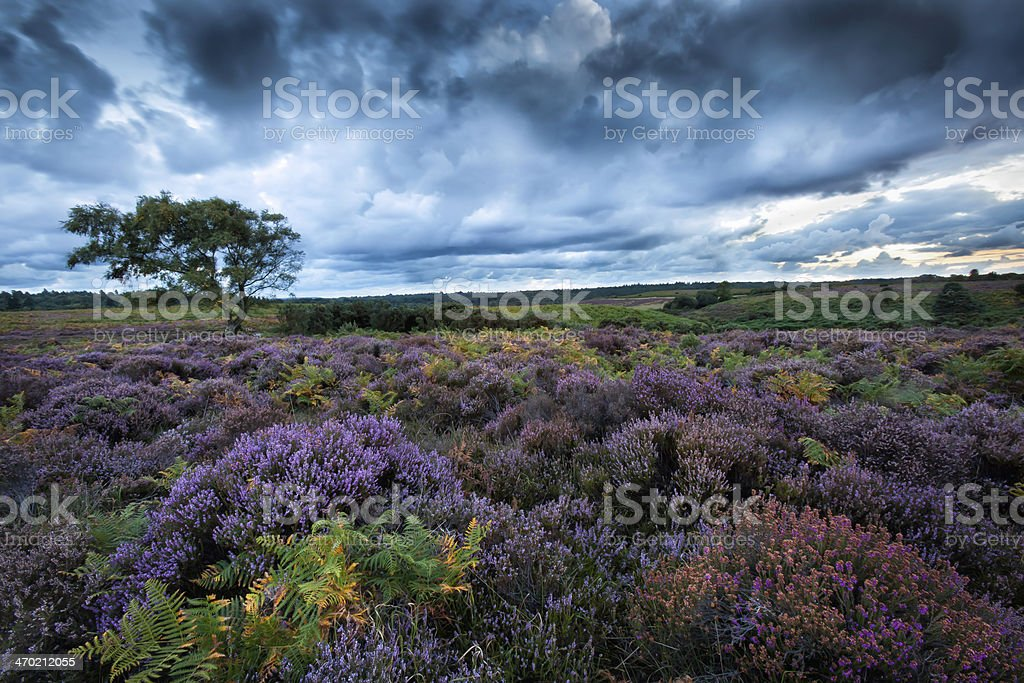 Heather In The New Forest stock photo