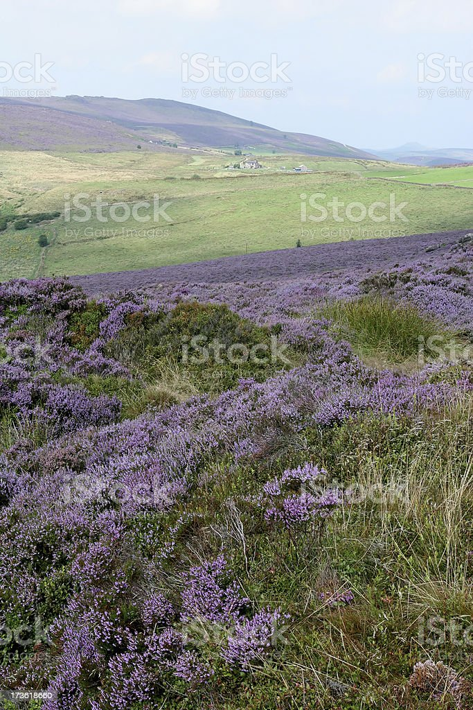 Heather Landscape in Summer stock photo
