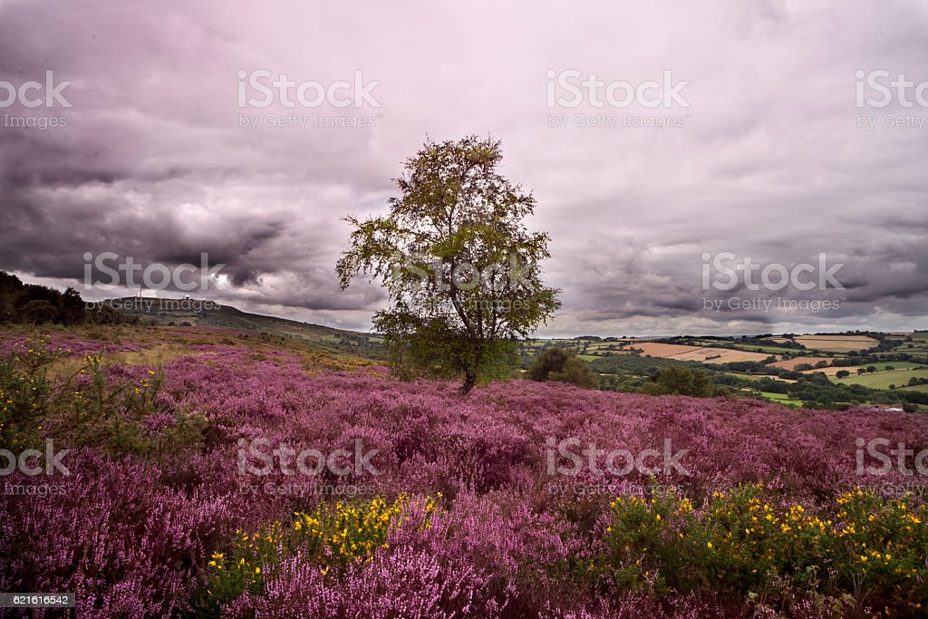 Heather landscape stock photo
