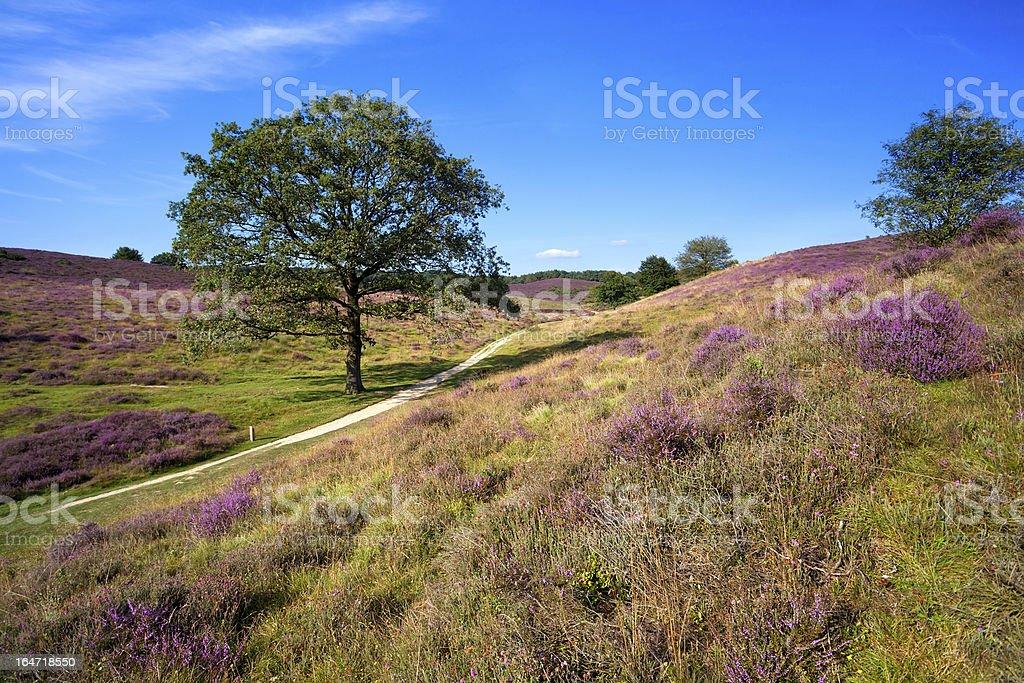 heather on hills royalty-free stock photo