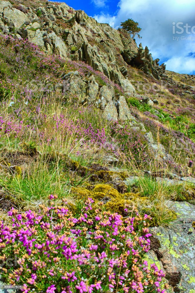 Heather on the banks of Ullswater stock photo