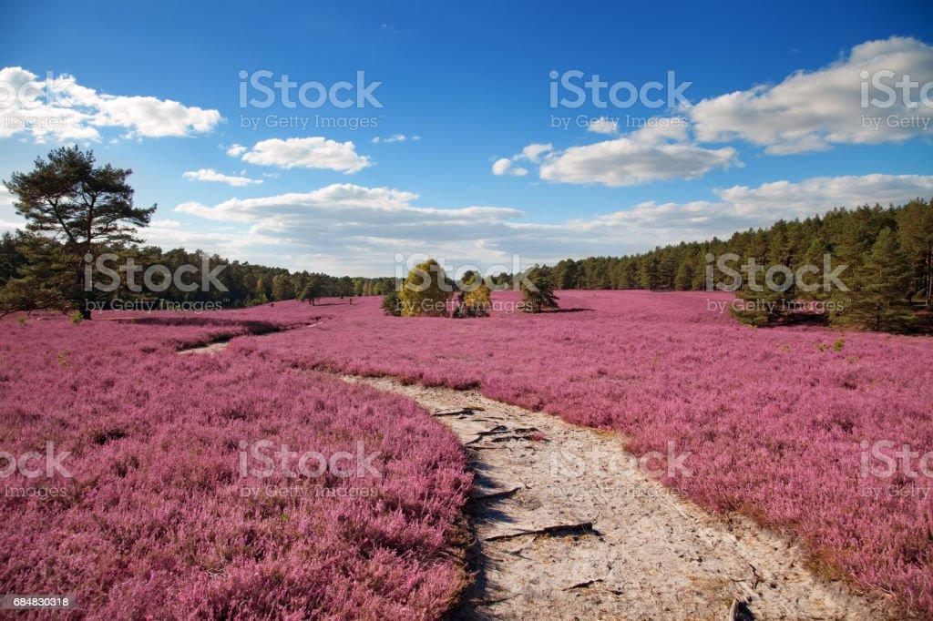 heather stock photo