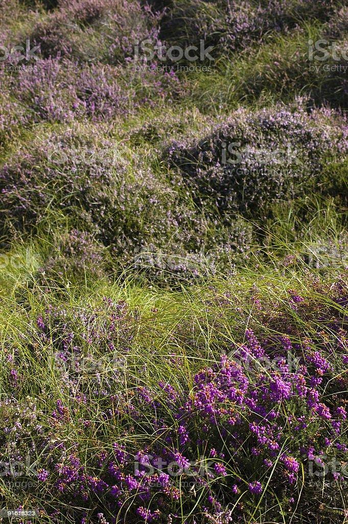 Heather, Studland Heath stock photo