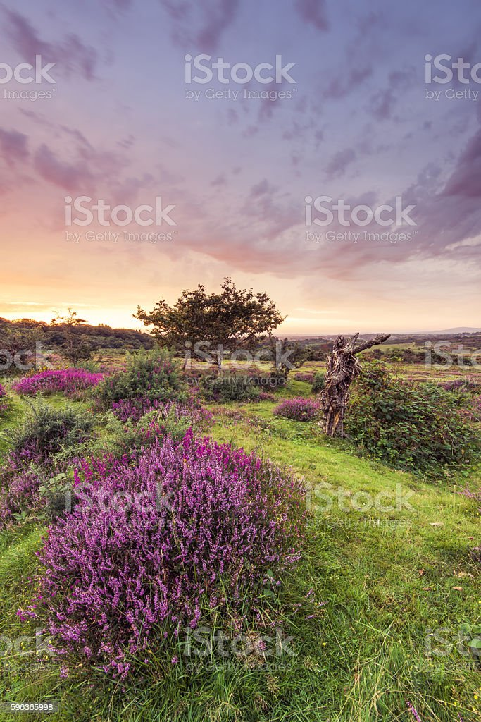 Heathers blooming pink at sunset stock photo