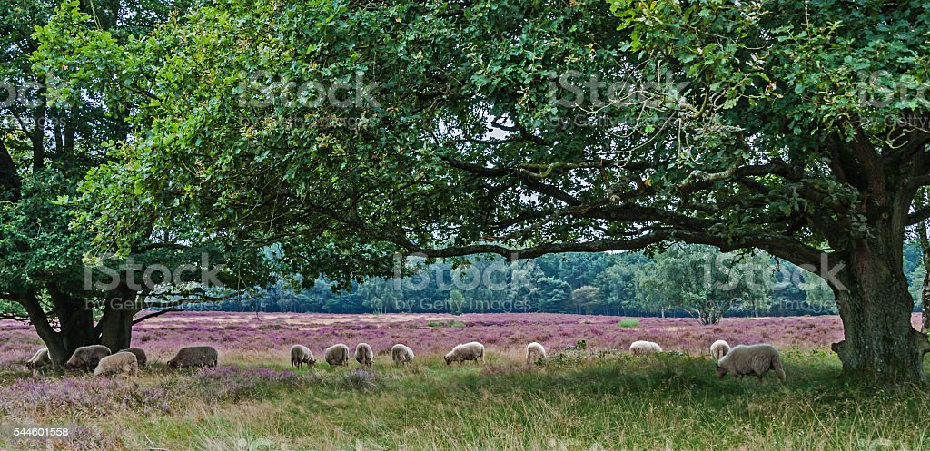 Heathland and sheeps in the Netherlands stock photo
