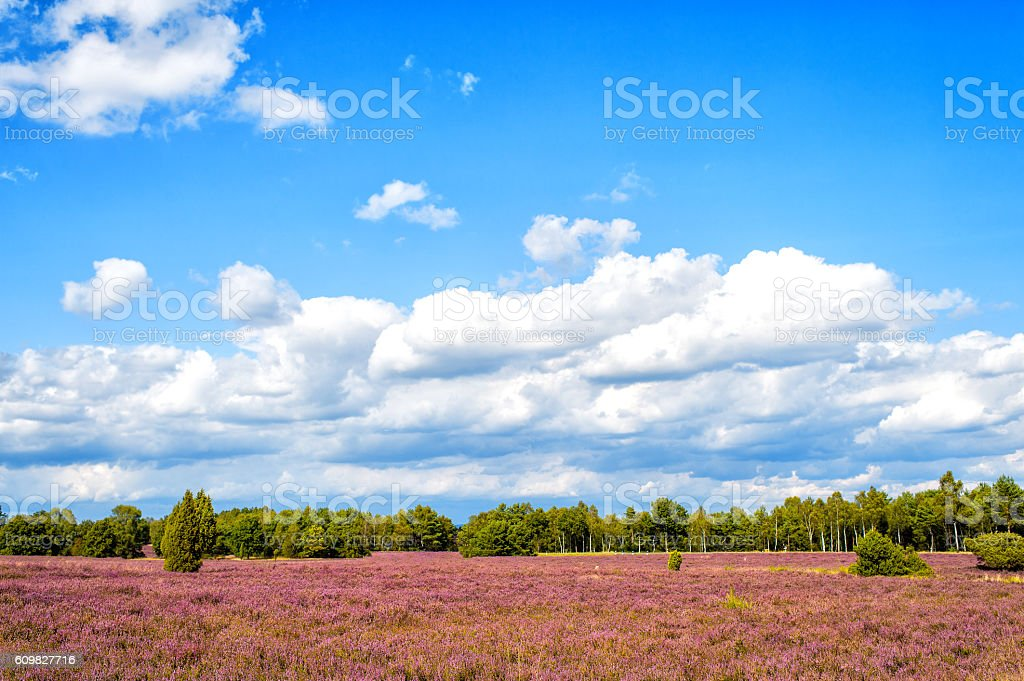 Heathland with flowering common heather, natural background stock photo