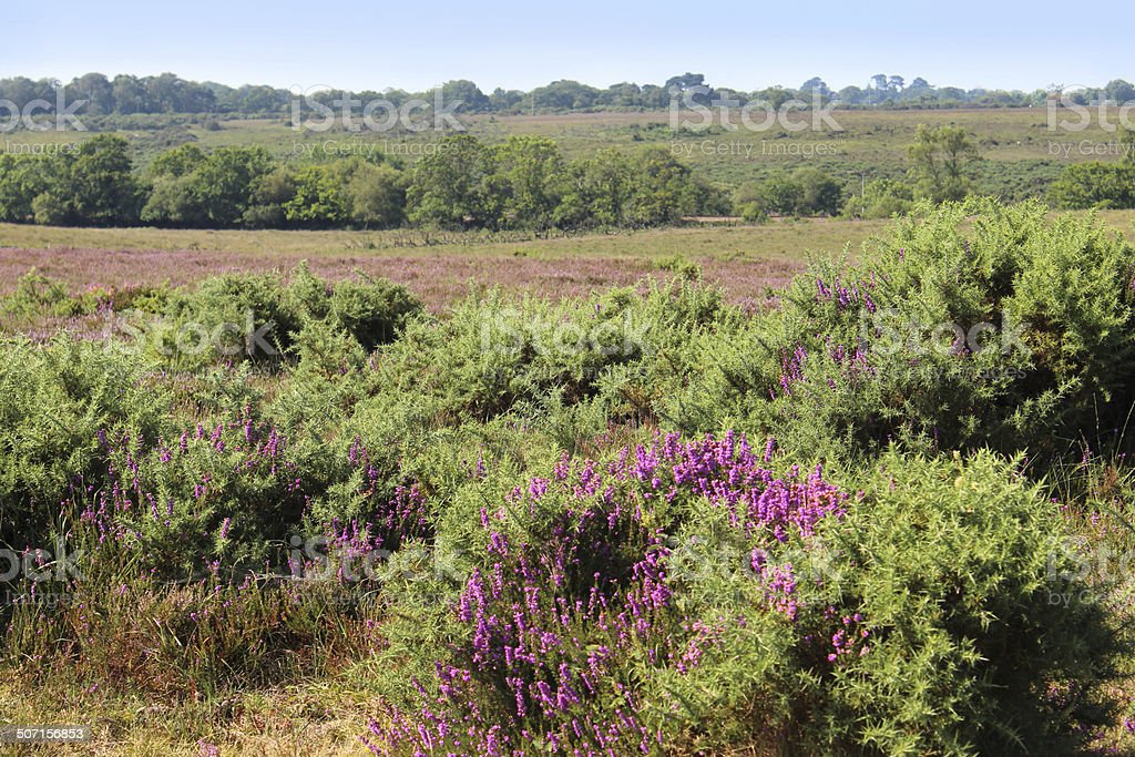 Heathland with flowering heathers (ericas) and gorse bushes, New-Forest stock photo