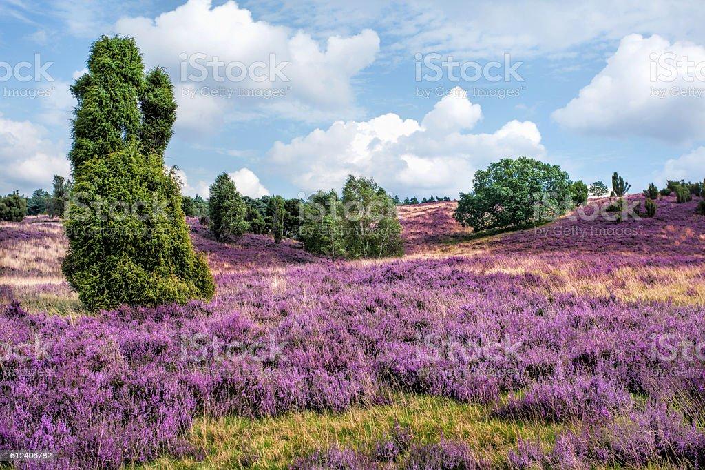 Heathland with juniper - Lüneburger Heide, Lower Saxony stock photo
