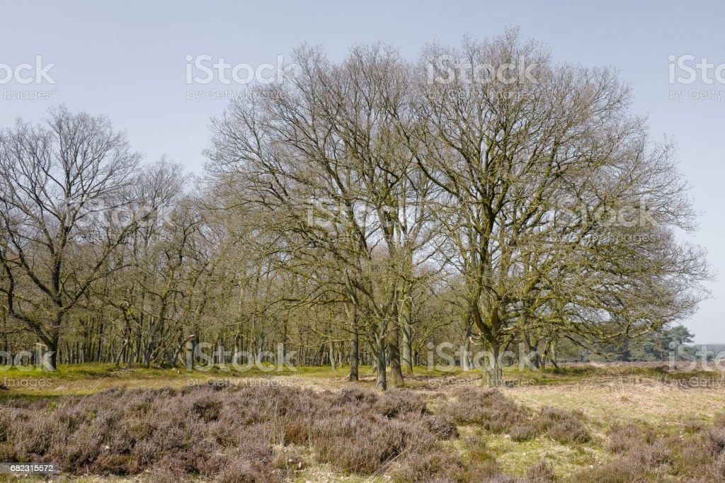 Heathland with oak trees. stock photo
