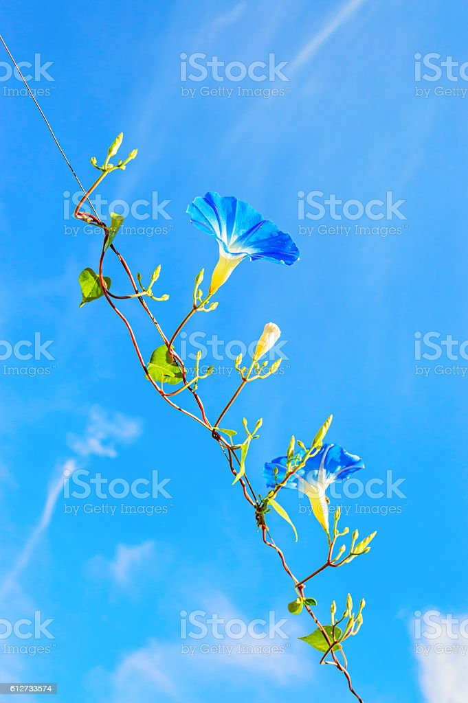 Heavenly blue ipomoea (morning glory) flowers stock photo
