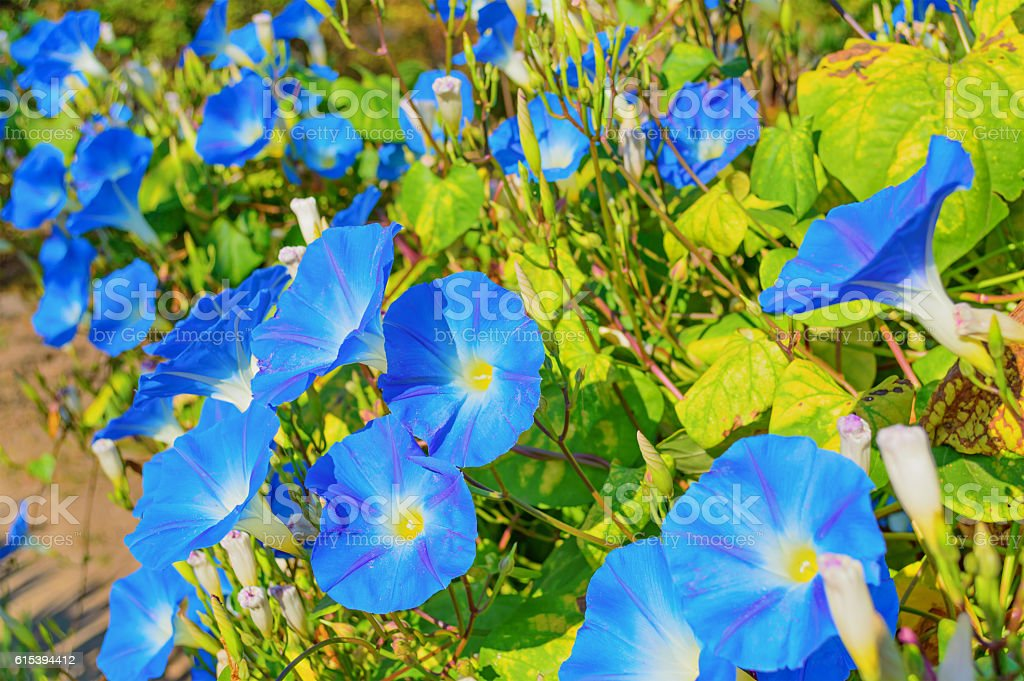 Heavenly blue ipomoea flowers stock photo