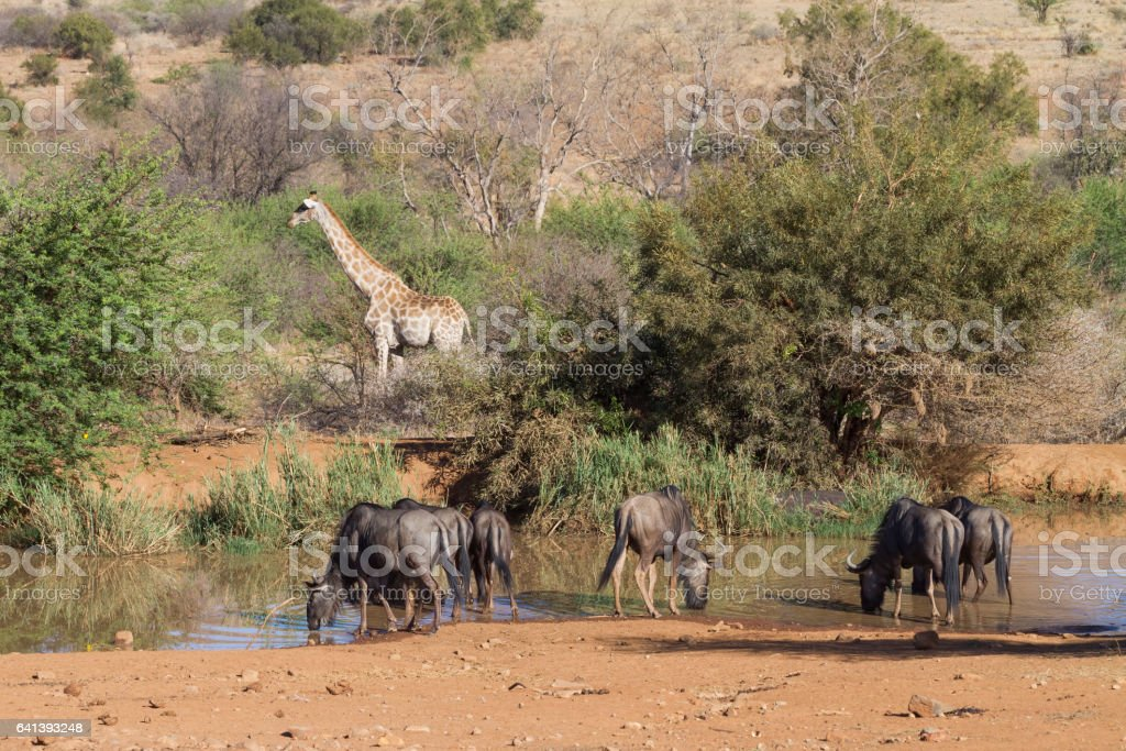 Heavenly coexistence of giraffe and widebeest at lake stock photo