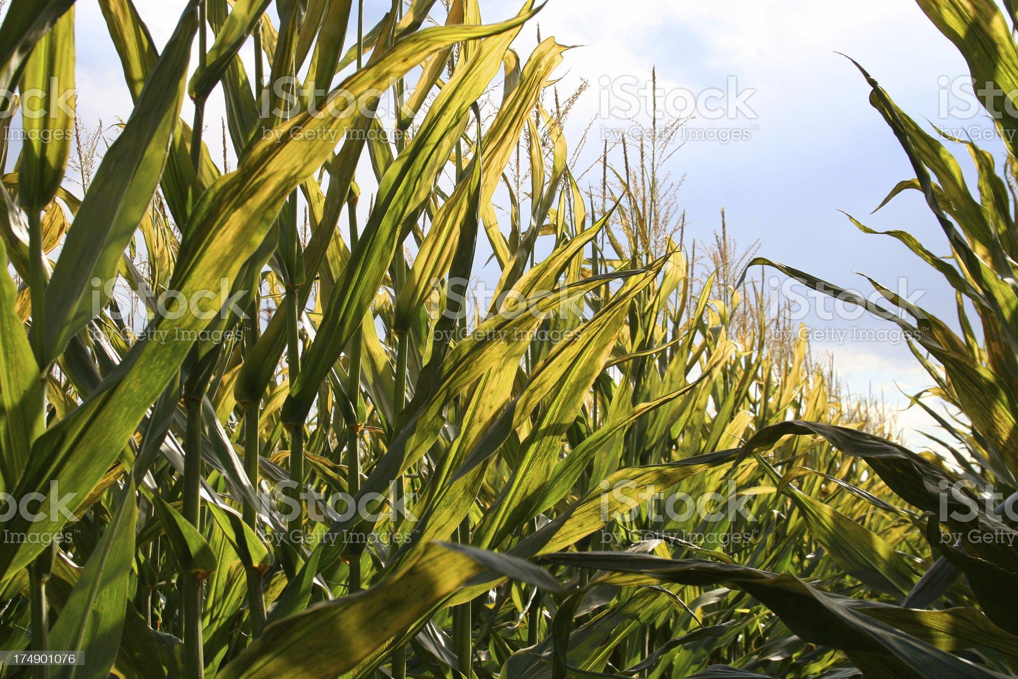 Heavenly harvest royalty-free stock photo