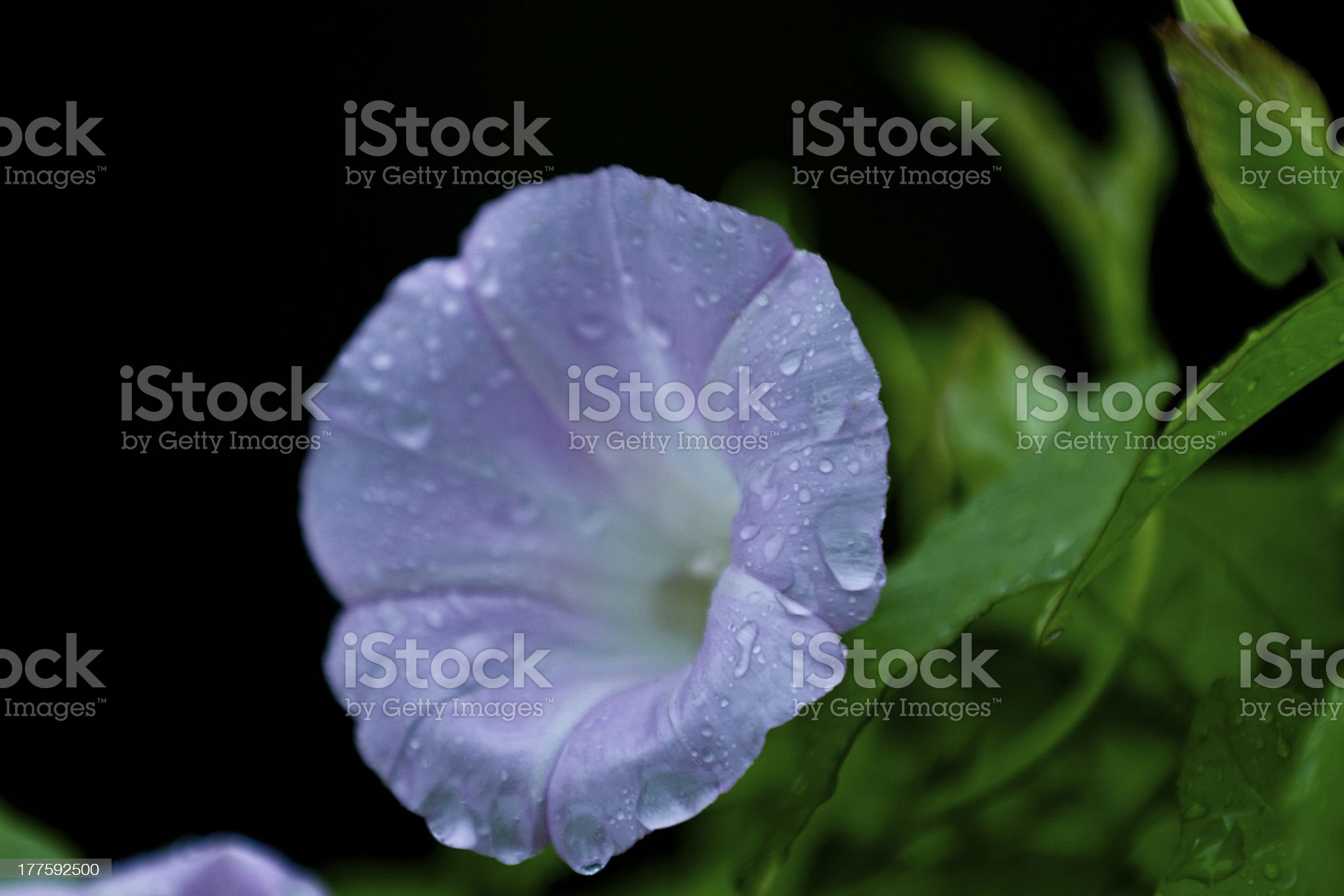 Heavenly trumpet macro royalty-free stock photo