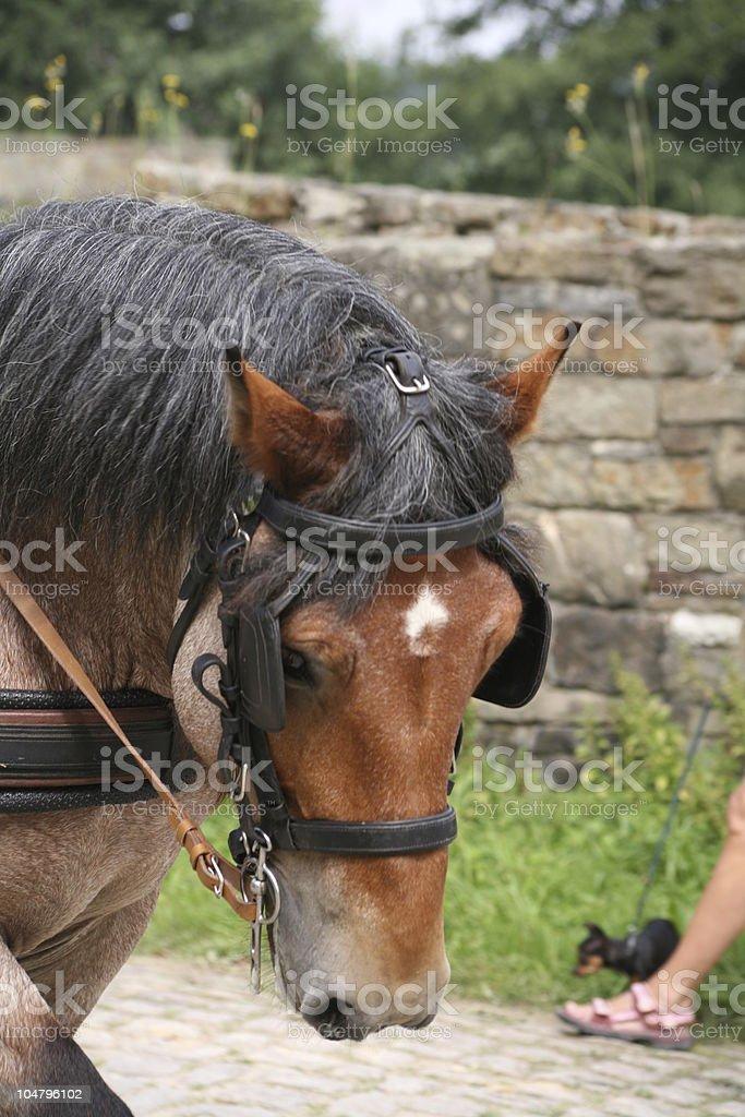 Heavy draft horse stock photo