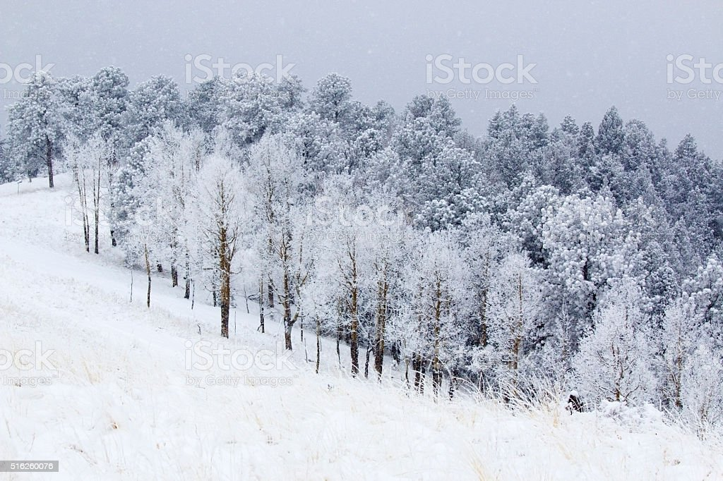 Heavy Snow in the Pike National Forest stock photo