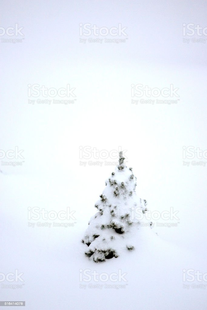 Heavy Snow on evergreen stock photo
