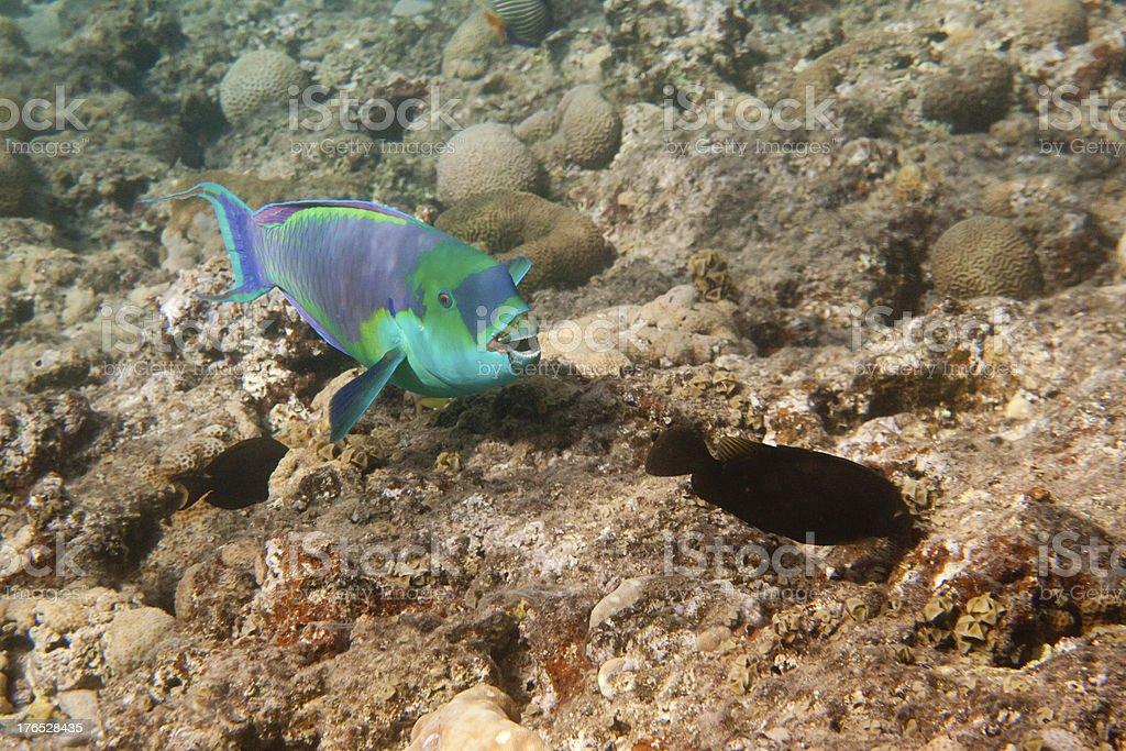 Heavybeak parrotfish is underwater royalty-free stock photo