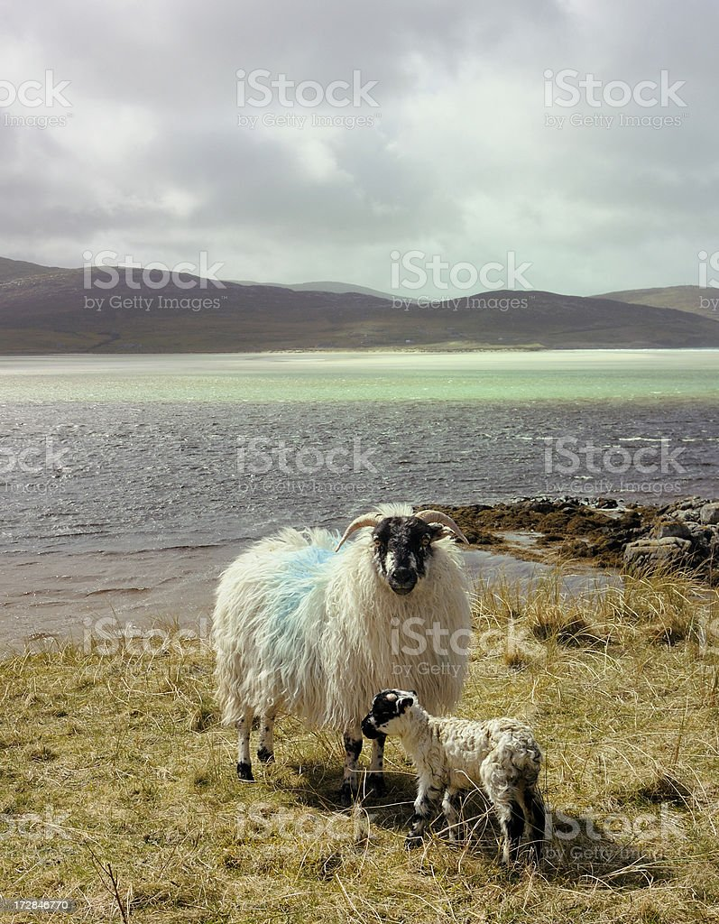 Hebridean Sheep royalty-free stock photo