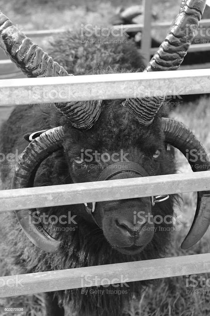 hebridean sheep stock photo