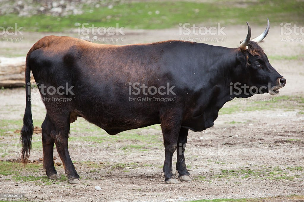 Heck cattle (Bos primigenius taurus) stock photo