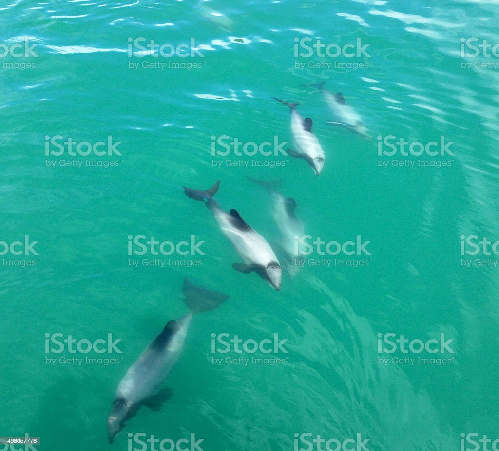 Hector Dolphins stock photo