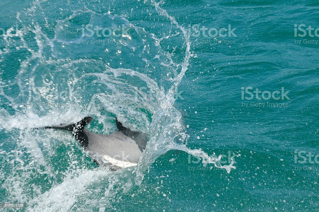 Hector's Dolphin stock photo