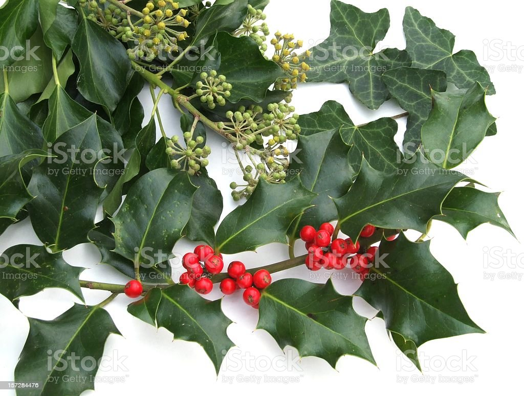 Hedera and Ilex stock photo