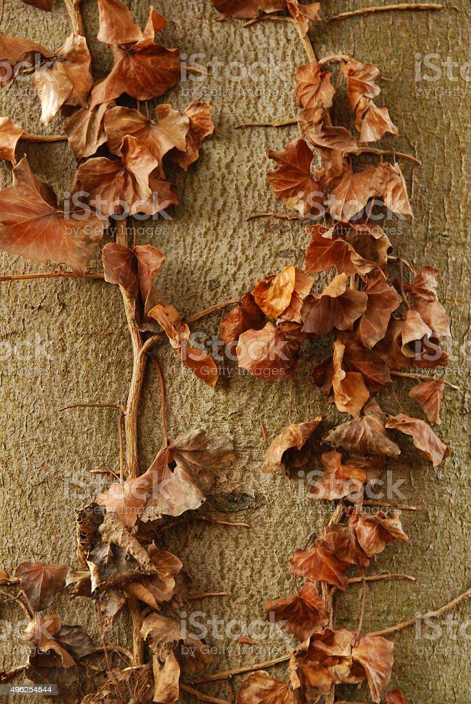 Hedera climber against tree trunk in autumn season. stock photo