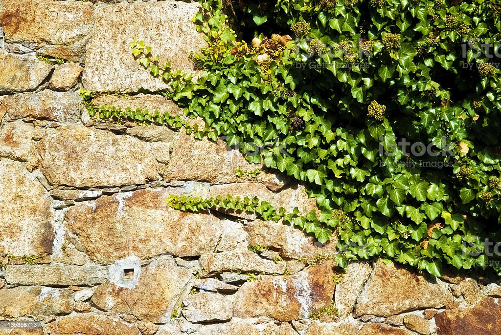 Hedera Helix, green ivy onf medieval castle wall stock photo