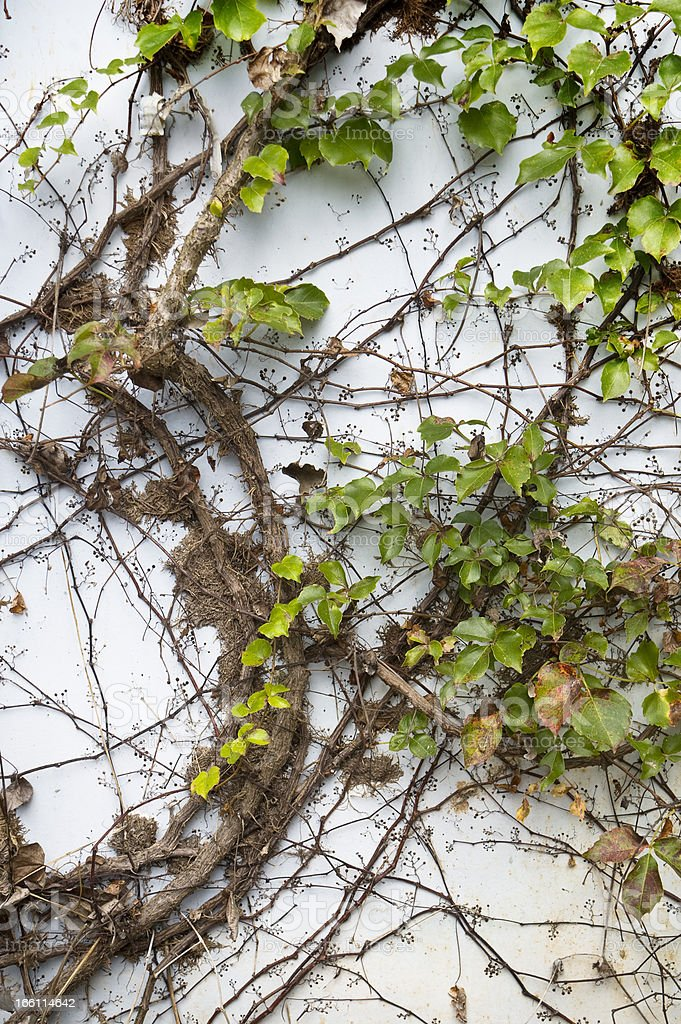 Hedera leaves royalty-free stock photo