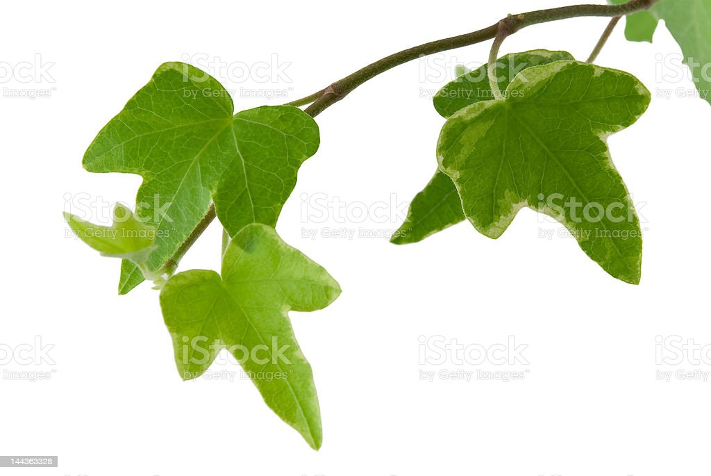 Hedera royalty-free stock photo