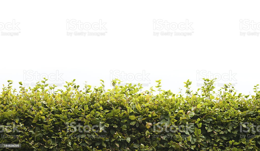Hedge background stock photo