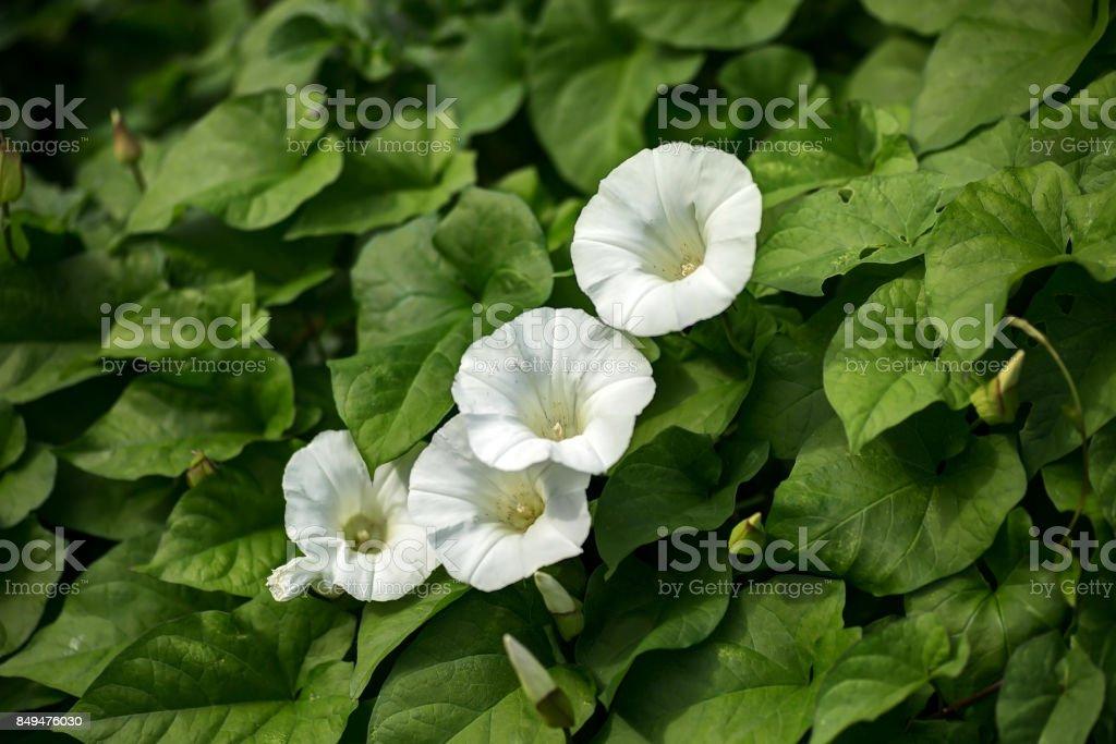 Hedge Bindweed - Calystegia sepium stock photo