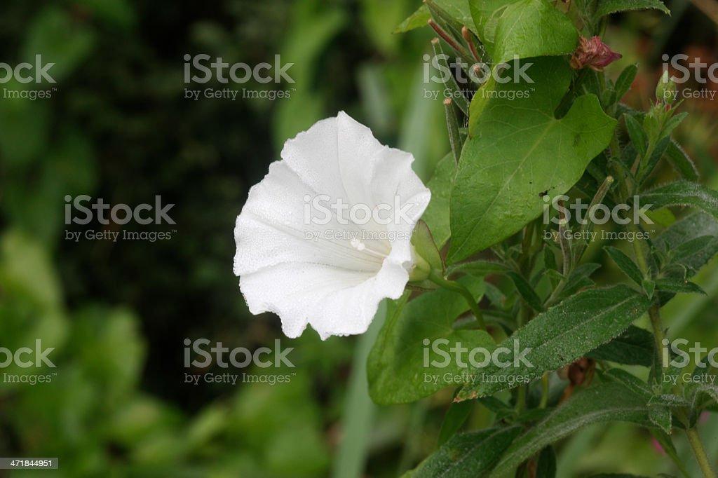 Hedge bindweed, Calystegia septium stock photo