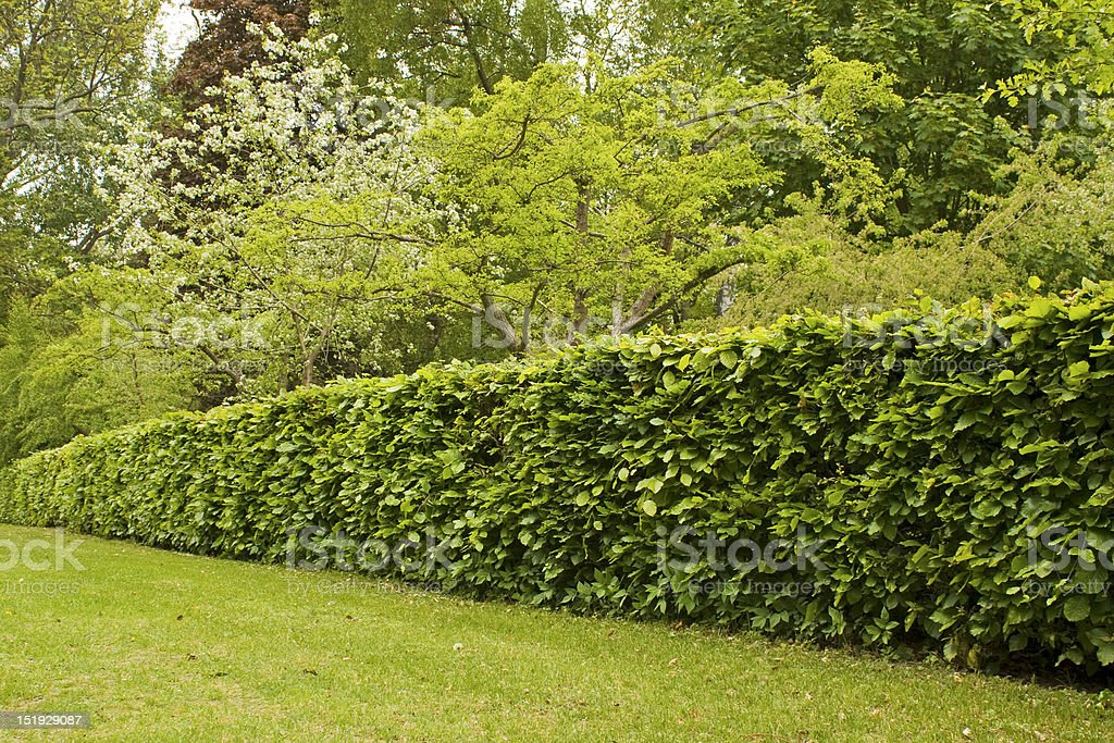 Hedge, hedgerow in garden.