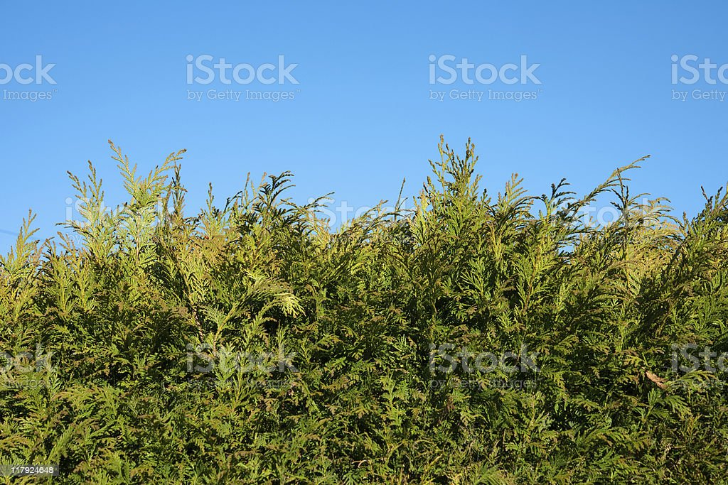 hedge made of conifer trees royalty-free stock photo