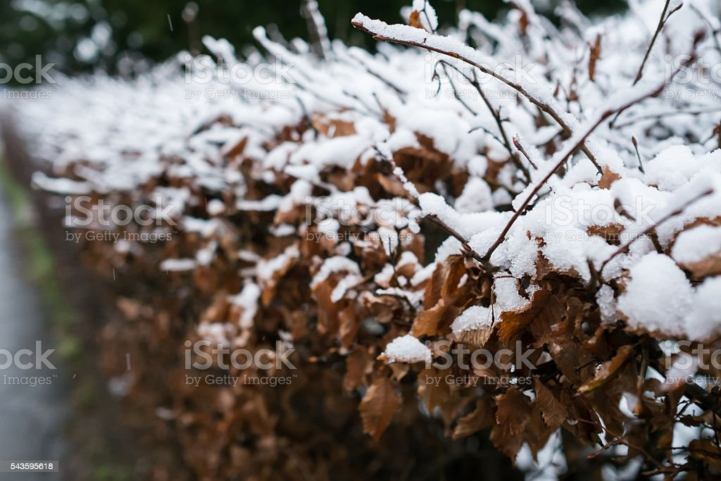 Hedge of common hornbeam with snow stock photo