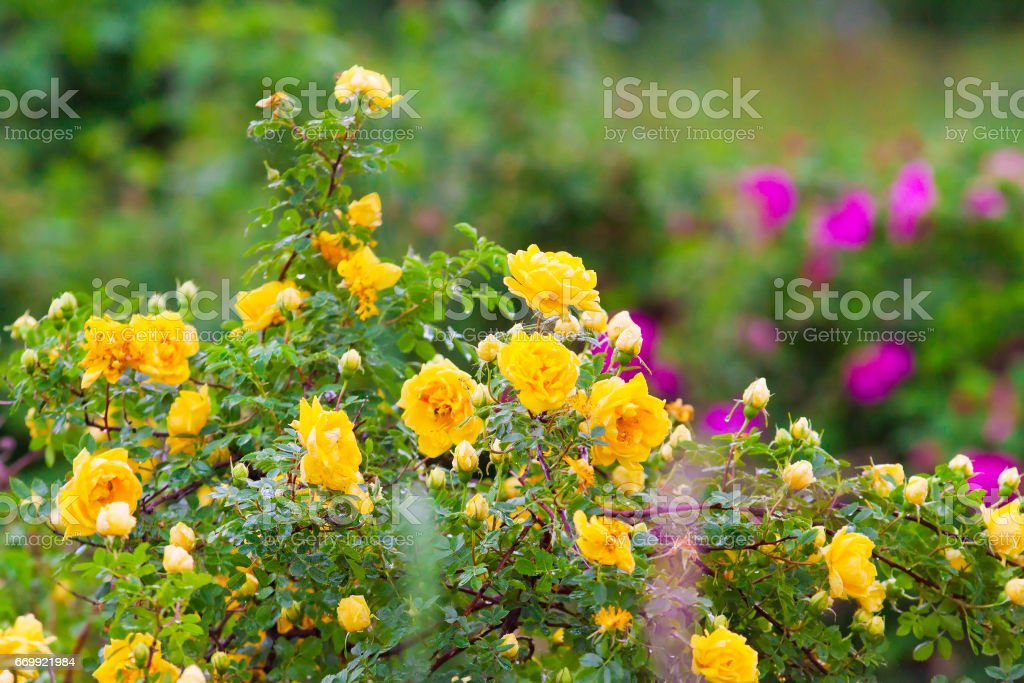 hedge of yellow clinging roses stock photo