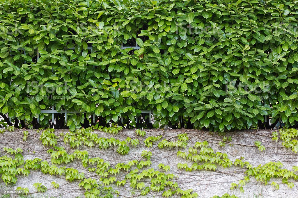 Hedge over an Ivy Covered Wall stock photo