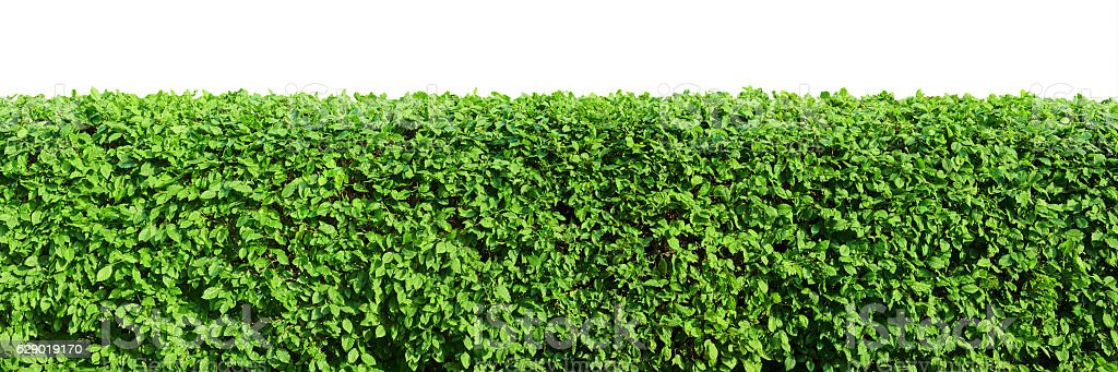 Hedge isolated on white background