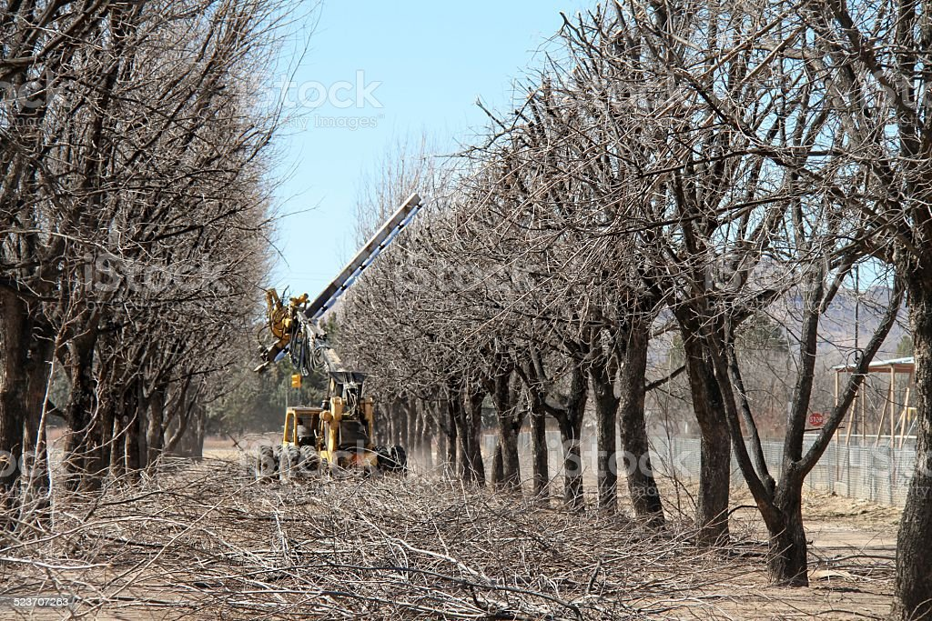 hedge pruning pecan trees stock photo