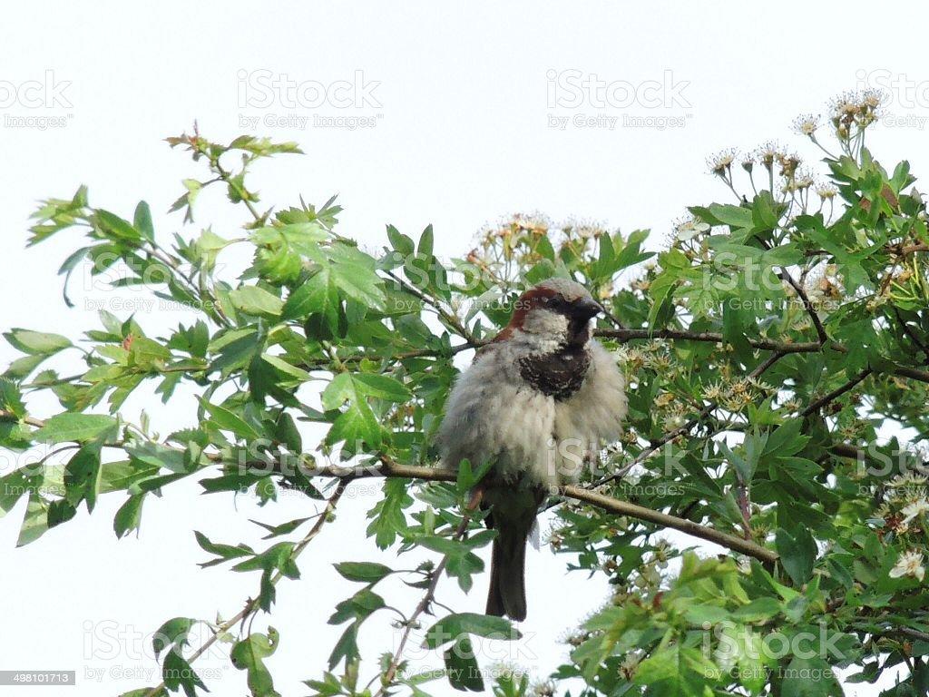 Hedge sparrow ruffled up stock photo