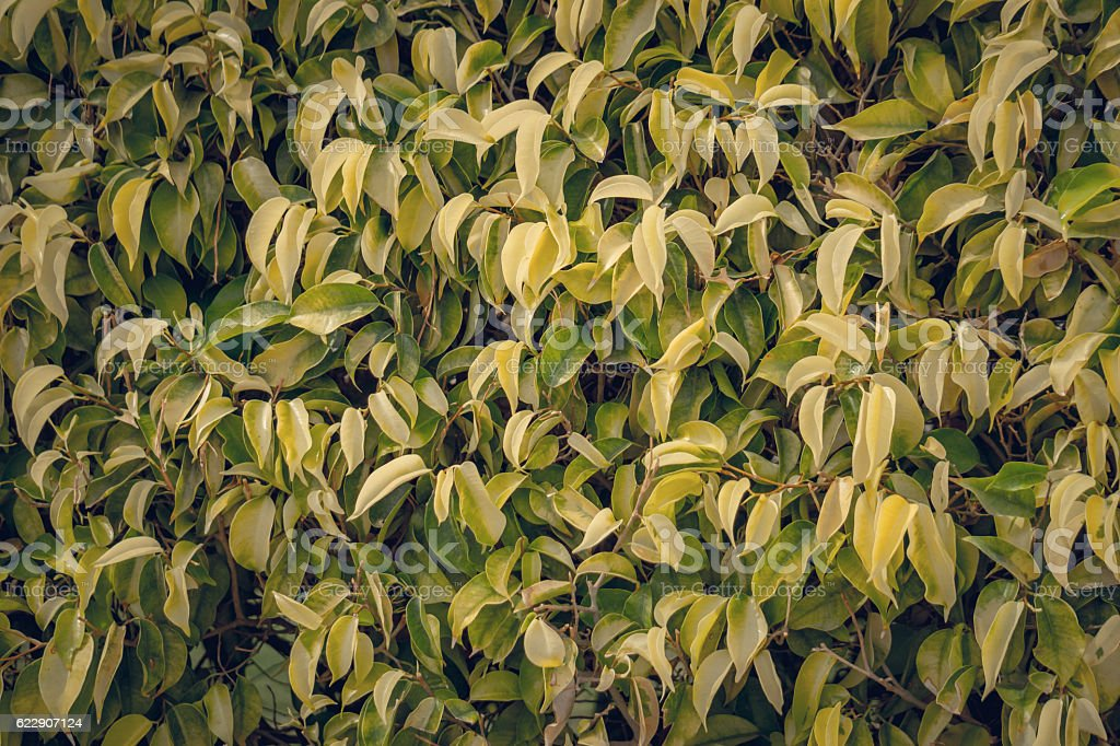 Hedge. Tropical ficus stock photo
