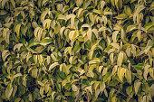 Hedge. Tropical ficus