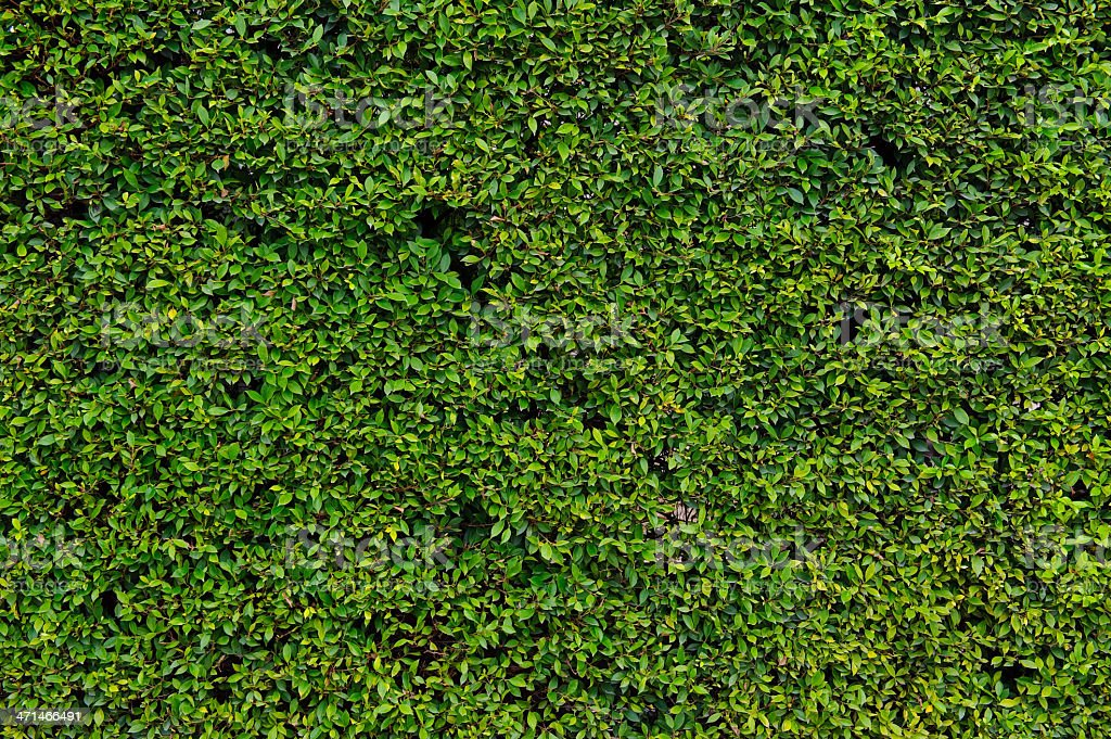 Hedge with green leafs royalty-free stock photo
