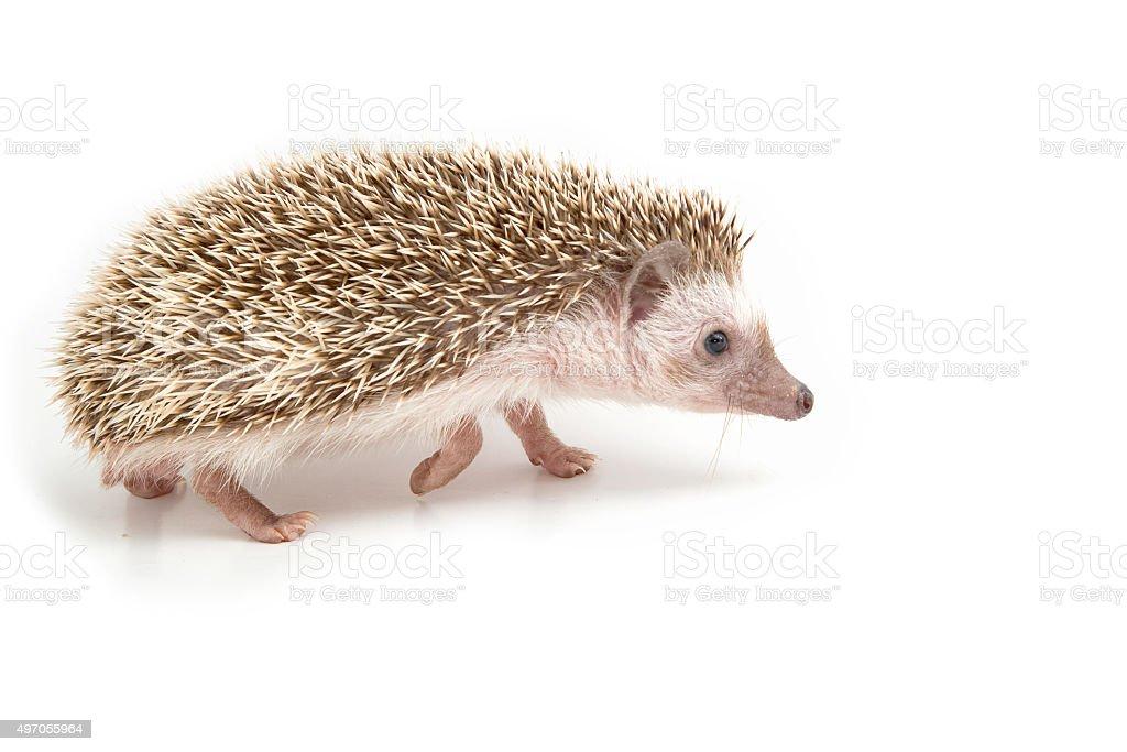 Hedgehog , African pygmy hedgehog on white background stock photo
