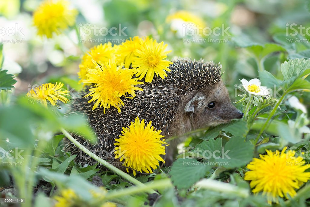 hedgehog among the blooming strawberry with dandelions on spines stock photo