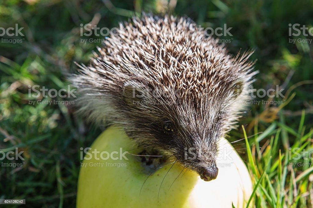 hedgehog and apple (erinaceus europaeus) stock photo